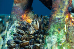 Muscheln auf Stahlkette
