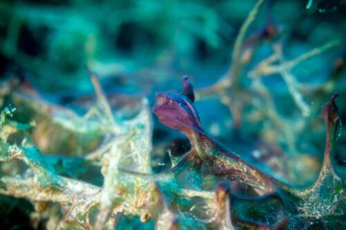 Algen auf Armleuchteralge