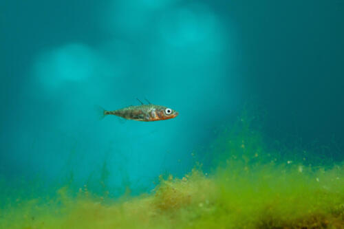 Stichling Unterwasserbild
